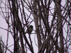 A junco in a dormant apple tree